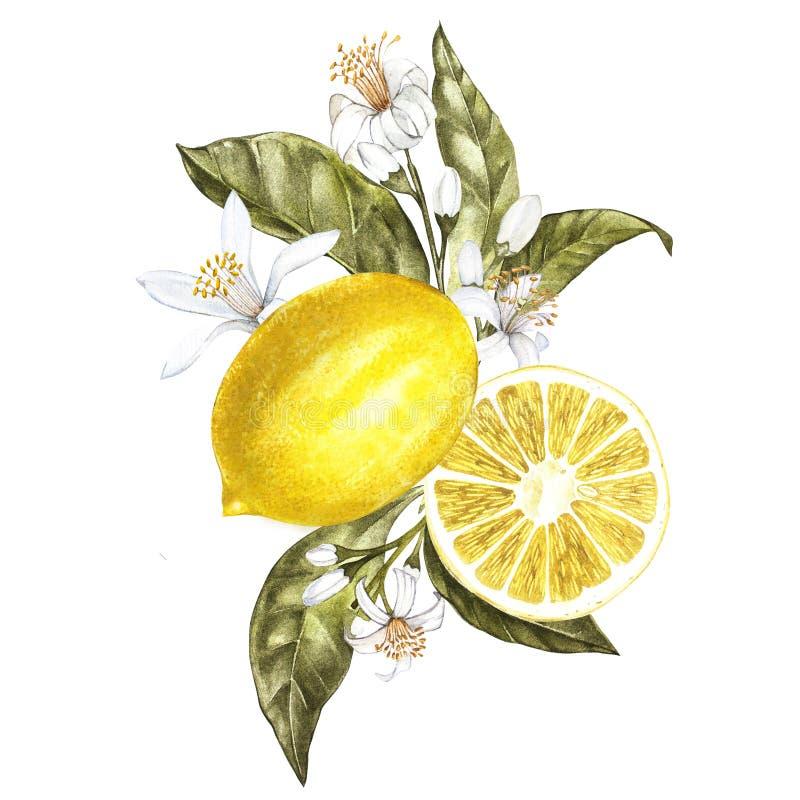 Gałąź akwareli cytryny drzewo z liśćmi, żółtymi cytrynami i kwiatami, Ręka rysujący akwarela elementy dla twój projekta ilustracji