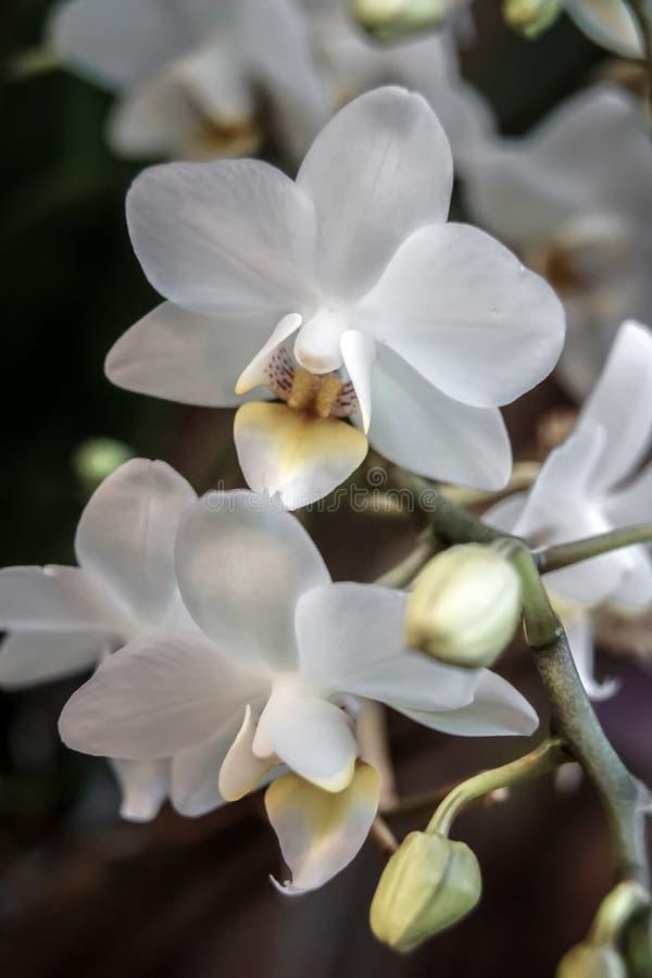 Gałąź białe orchidee z pączkami z bliska zdjęcie stock
