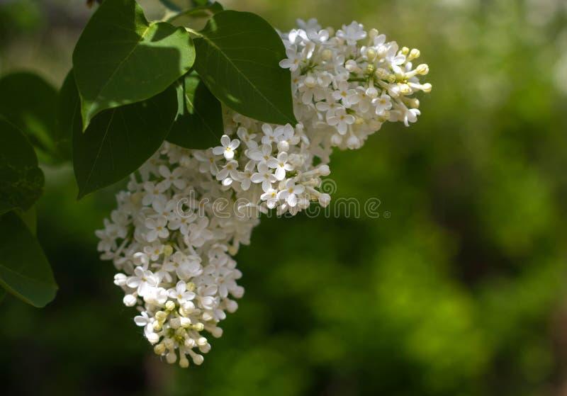 Gałąź biały Amur bez z zielenią opuszcza w górę Piękny Bush biały bez Kwiaty na gałąź obrazy stock