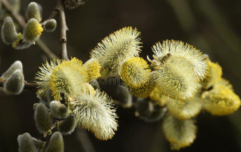Gałąź bieżący kić wierzb Salix obrazy stock