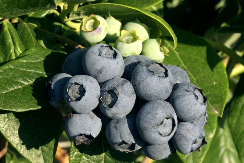 gałąź blueberry skupisko fotografia royalty free