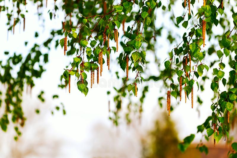 Gałąź brzoza z kolczykami Tło fotografia stock