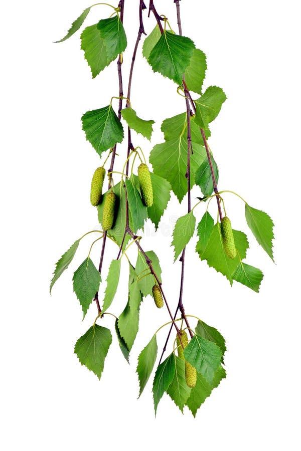 Gałąź brzoza z pączkami i liśćmi, odosobniona bez cienia fotografia stock