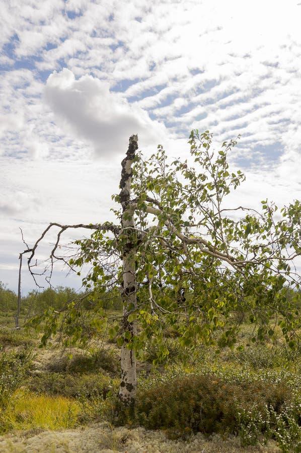 Gałąź brzozy drzewo z zielenią opuszcza na tle z pasiastym niebieskim niebem z białymi chmurami Lato krajobraz obraz royalty free