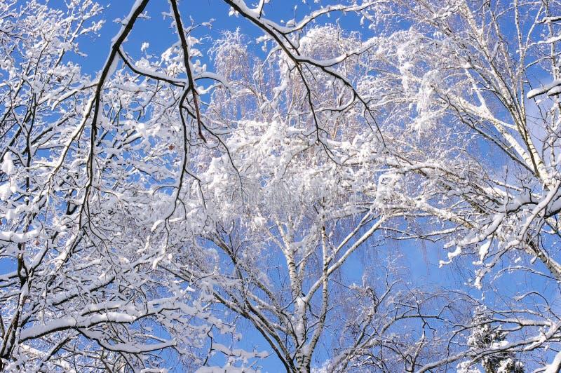 Gałąź brzozy pod śniegiem przeciw niebieskiemu niebu w zimie fotografia stock