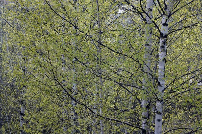 Gałąź brzozy z zielonymi liśćmi w wiośnie fotografia royalty free