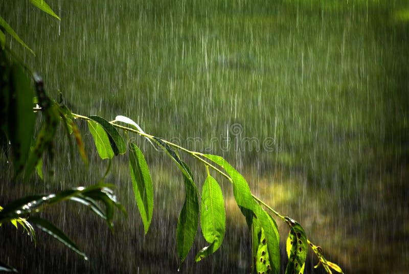 Gałąź bujny zieleni przyrost z deszcz kropel kapinosów Spada burzą obrazy royalty free