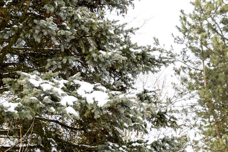 Gałąź byli świerkowe, zakrywają z śniegiem Zima w tajdze fotografia royalty free