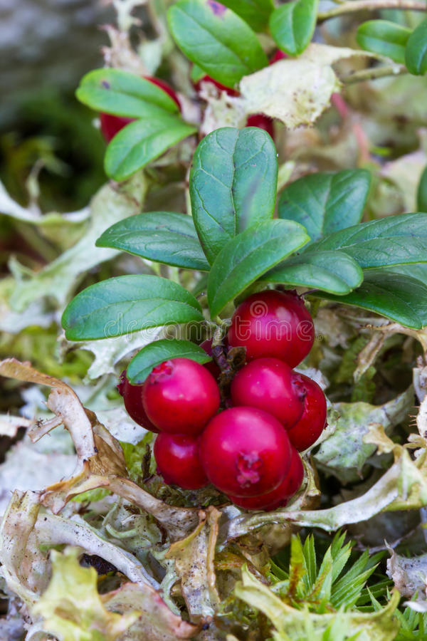 Gałąź cranberries fotografia royalty free