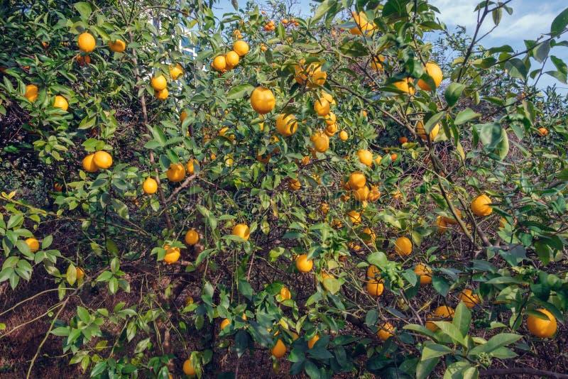 Gałąź cytryny drzewo obraz royalty free