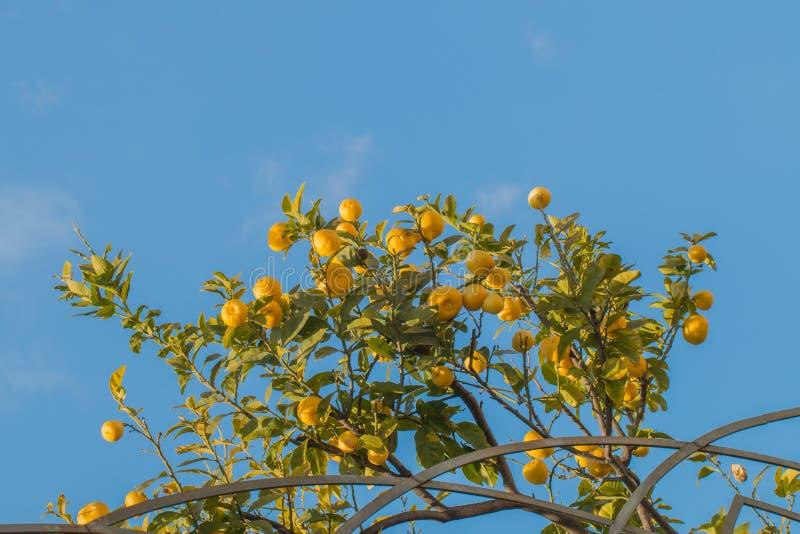 Gałąź cytryny drzewo pełno dojrzałe owoc obraz royalty free
