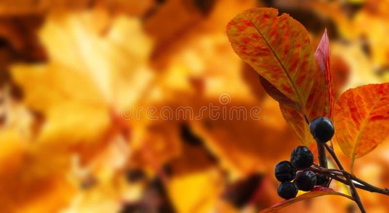Gałąź czarnego lasu jagody na zamazanym kolorowym liścia klonowego tle fotografia royalty free
