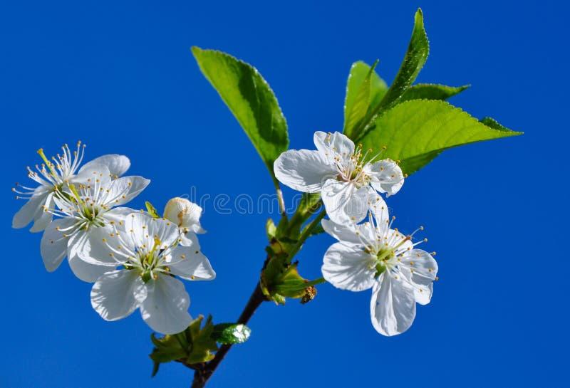 Gałąź czereśniowi okwitnięcia w wiosen florets zdjęcie royalty free
