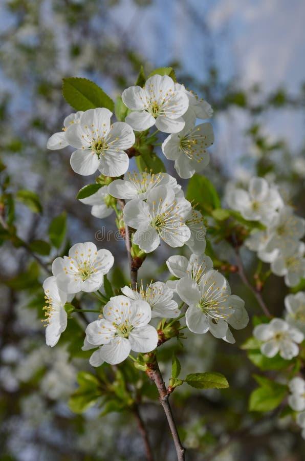 Gałąź czereśniowi okwitnięcia w wiosen florets zdjęcie stock