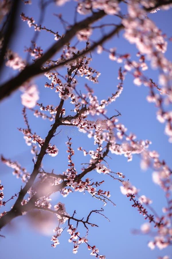 Gałąź czereśniowy drzewo w okwitnięciu fotografia royalty free