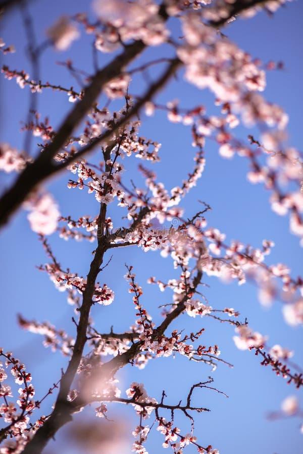 Gałąź czereśniowy drzewo w okwitnięciu obraz stock