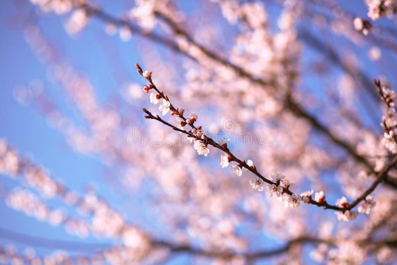 Gałąź czereśniowy drzewo w okwitnięciu obrazy royalty free