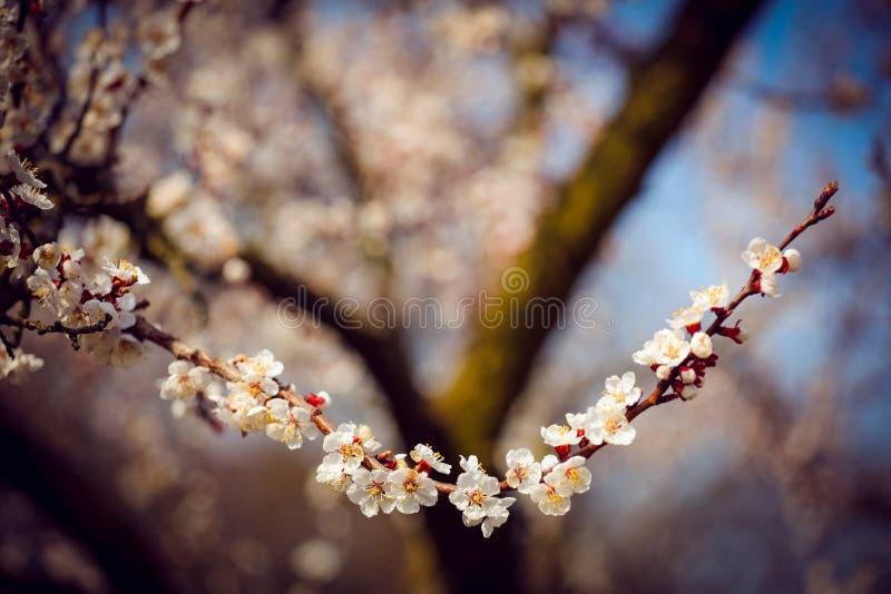 Gałąź czereśniowy drzewo w okwitnięciu zdjęcie royalty free