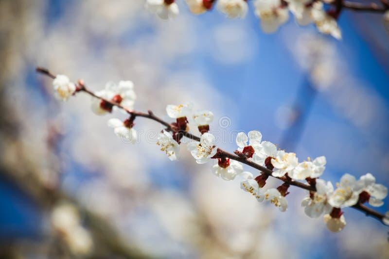 Gałąź czereśniowy drzewo w okwitnięciu fotografia stock