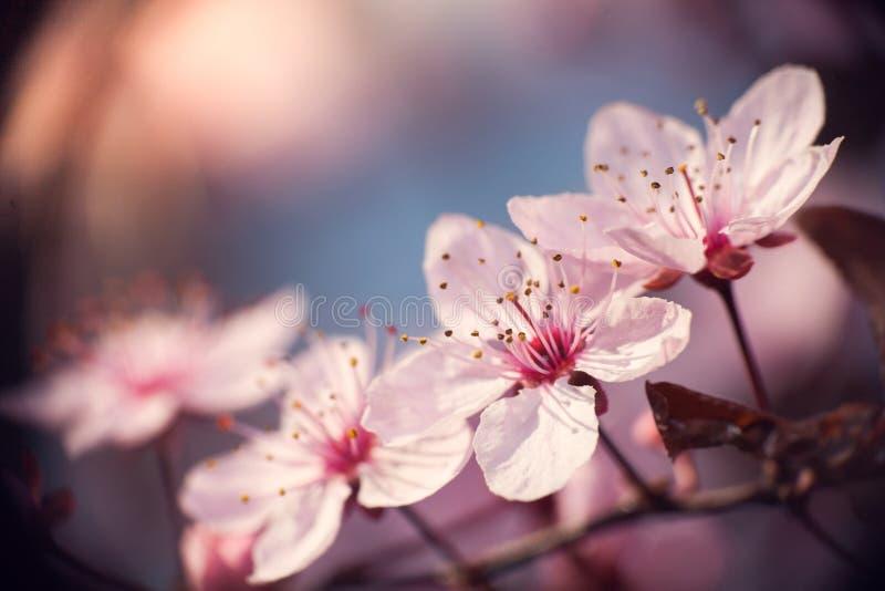 Gałąź czereśniowy drzewo w okwitnięciu zdjęcie stock