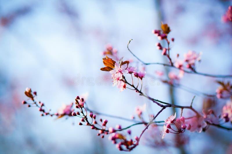 Gałąź czereśniowy drzewo w okwitnięciu zdjęcia stock