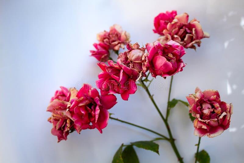 Gałąź czerwień blaknąca róża odizolowywająca na białym tle fotografia stock