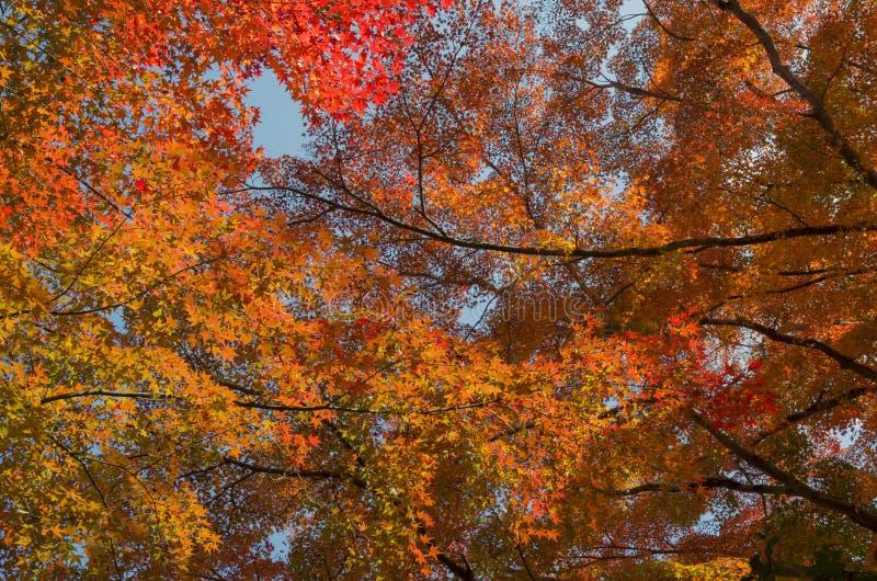 Gałąź Czerwoni liście klonowi drzewo, jesień w Japonia zdjęcie royalty free