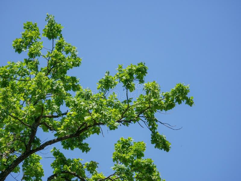 Gałąź dąb z jaskrawym - zieleń opuszcza przeciw błękitnemu lata niebu w parku zdjęcia stock