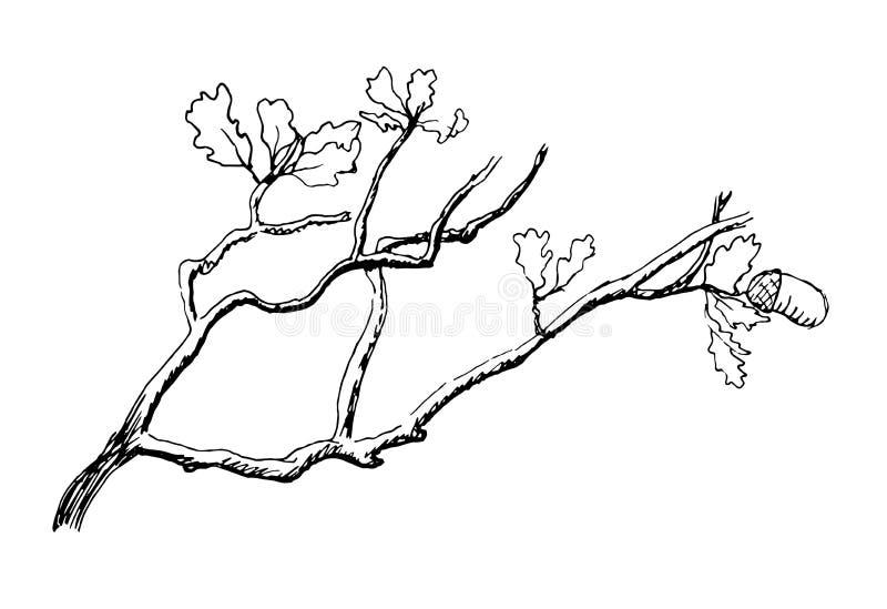 Gałąź dębowy drzewo ilustracji
