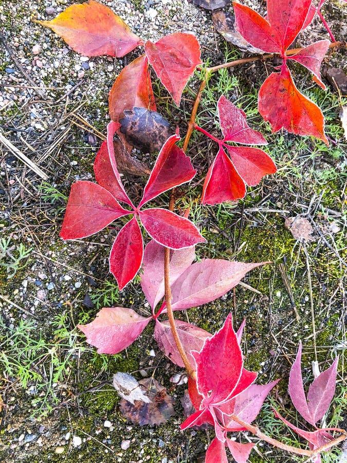 Gałąź dekoracyjni winogrona z czerwonymi jesień liśćmi obraz stock