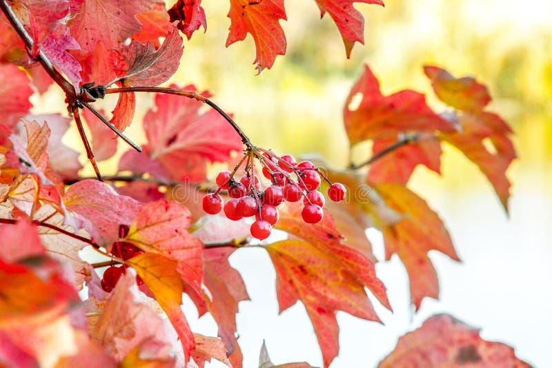 Gałąź dojrzały czerwony viburnum z jagodami w jesieni fotografia royalty free