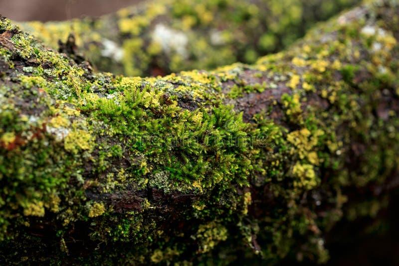 Gałąź drzewa zakrywają z mech, pieczarki w wiosna lesie Makro- zdjęcia royalty free