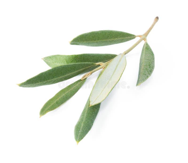 Gałąź drzewo oliwne fotografia royalty free
