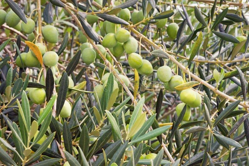 Gałąź drzewo oliwne z liśćmi i owoc, tło zdjęcie royalty free