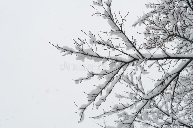 Gałąź drzewo w hoarfrost obraz stock