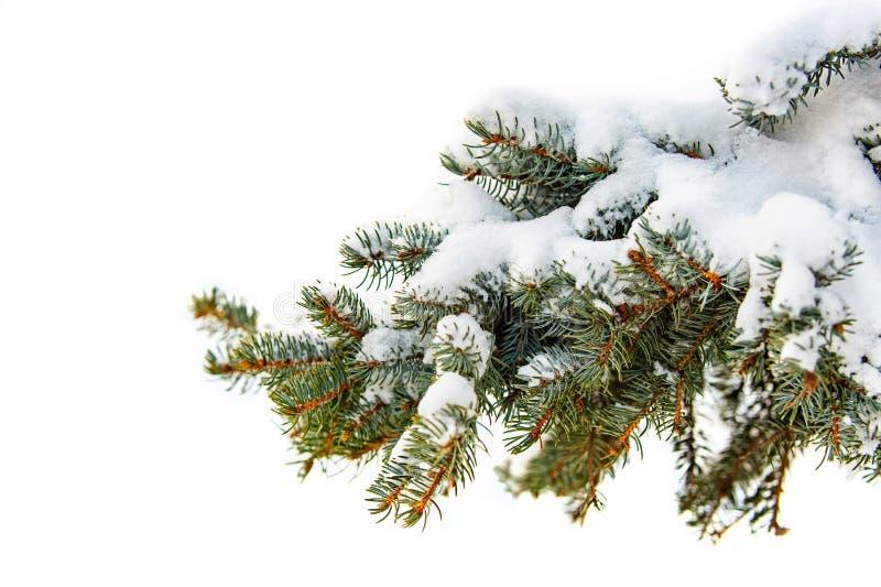 Gałąź drzewo zakrywający z puszystym śniegiem, łapy sosna z zielonymi igłami fotografia stock