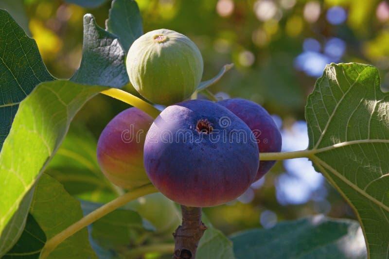 Gałąź figi drzewa Ficus Carica z jaskrawymi kolorowymi owoc zdjęcia royalty free