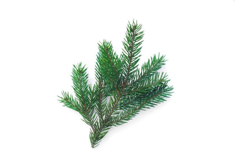 gałąź fir drzewa przyrody na białym tle obraz stock