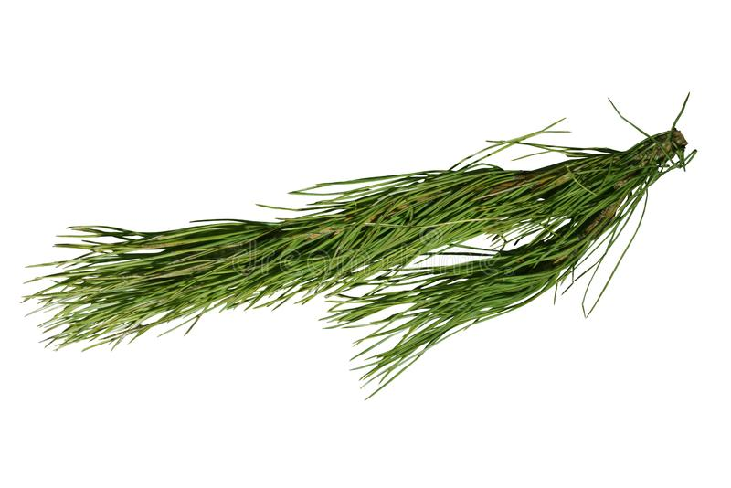Gałąź Green Pine z szyszkami na białym tle zdjęcie stock