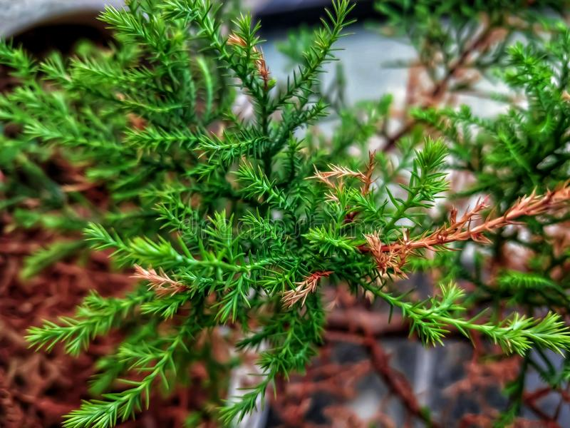 Gałąź i liść Karłowaty Hinoki cyprys, chamaecyparis obtusa, Nana Gracilis zdjęcie royalty free