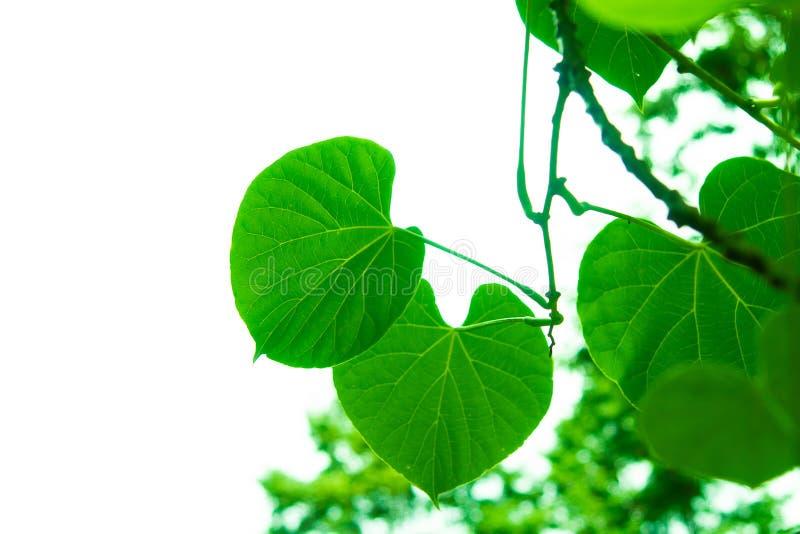 Gałąź i liście są zieleni zdjęcie stock