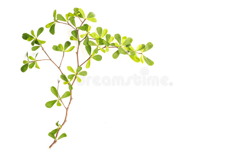Gałąź i zieleń liść odizolowywający na białym tle zdjęcia royalty free
