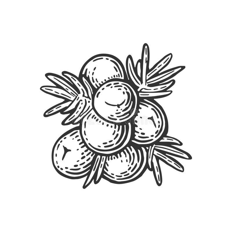 Gałąź jałowiec z jagodami Rocznika koloru wektorowy rytownictwo ilustracja wektor
