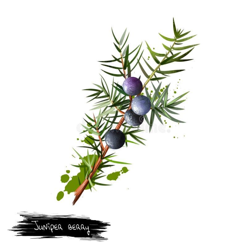 Gałąź jałowiec z ulistnieniem, jagodami i ziarnami, ilustracji