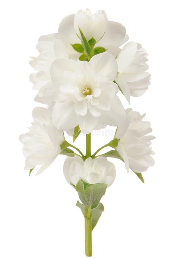Gałąź jaśminów kwiaty Odizolowywający na Białym tle zdjęcie stock