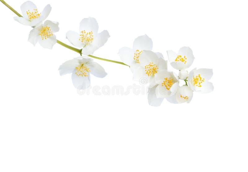 Gałąź jaśminu Philadelphus kwiaty odizolowywający na białym tle obrazy royalty free
