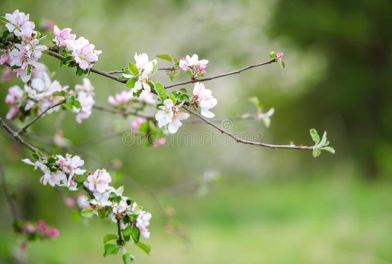 Gałąź jabłoń posypuje z pączkami i świeżymi kwiatami białymi i różowymi Rado?? i pi?kno wiosna sezon obrazy royalty free