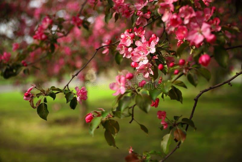 Gałąź jabłoń z różowymi kwiatami fotografia stock