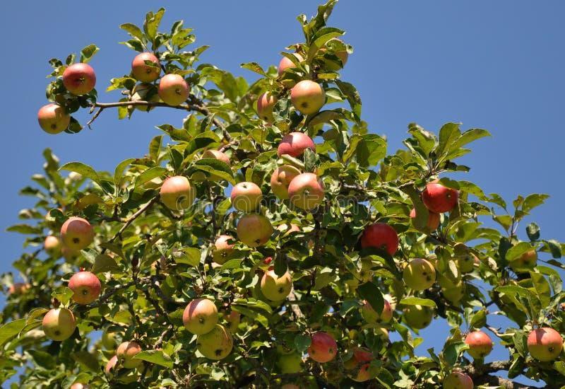 Gałąź jabłonie przeciw niebu obrazy stock