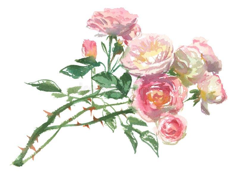 Gałąź jasnoróżowe róże ilustracji